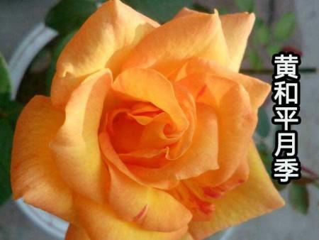 大花月季品种黄和平