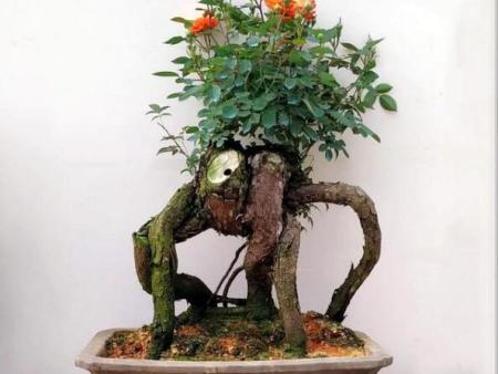 古桩月季树