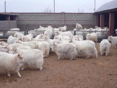 绒山羊公母羊混养害处多