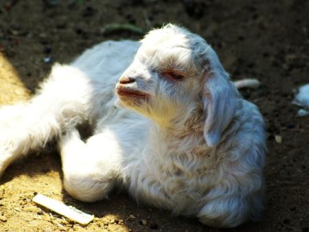 辽宁绒山羊母羔的培育