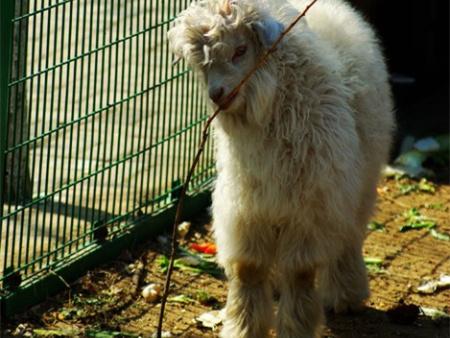 盖州绒山羊养殖基地-提供绒山羊种羊的合理饲养、合理管理办法