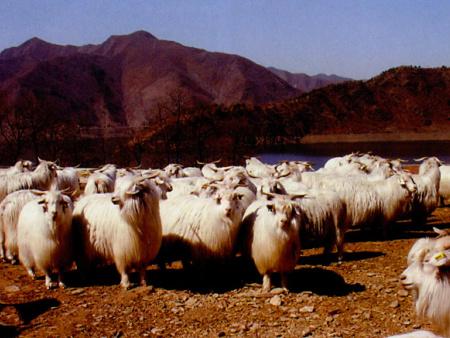 盖州绒山羊放牧饲养管理