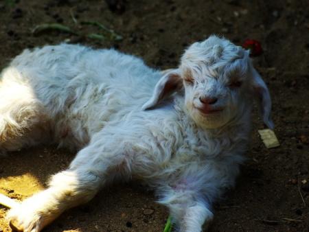 绒山羊良种公羔、良种母羔当年育成出栏的技术