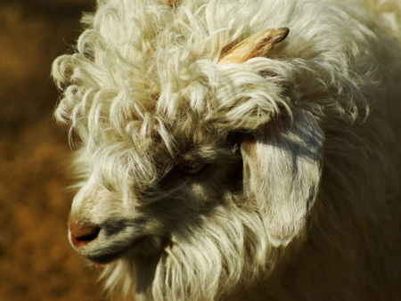 盖州绒山羊养殖基地-辽宁绒山羊哪家品种好
