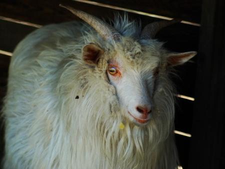 盖州绒山羊市场价格-盖州绒山羊养殖基地出售划算的辽宁绒山羊
