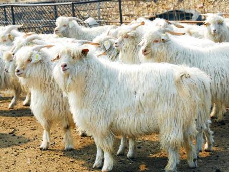 如何提高辽宁绒山羊产绒量