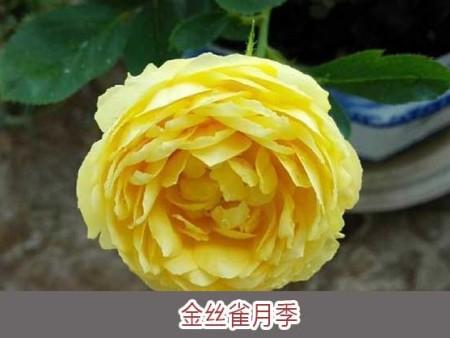 金丝雀月季大花月季品种