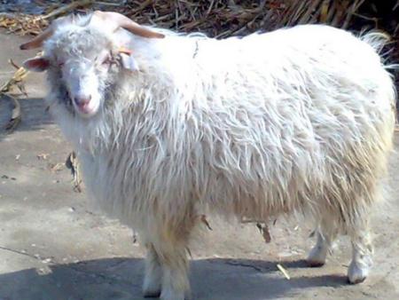 影响辽宁绒山羊繁殖性能的因素