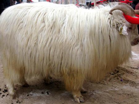 辽宁绒山羊种公羊配种期间的管理