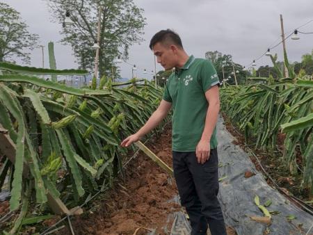 火龙果 提前断根、开沟施肥、培土-效果对比