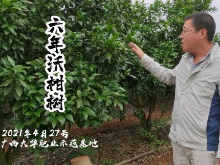 广西大华肥业示范基地-六年沃柑树施肥效果