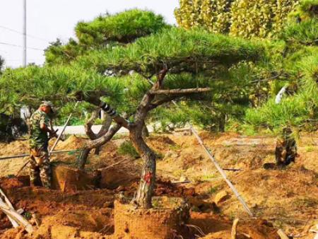 造型松進入秋季之后該如何做好水肥工作