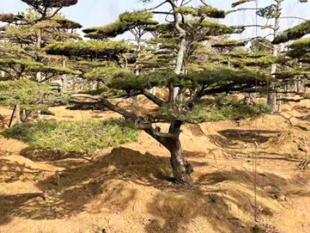 中秋節前栽植造型油松需要掌握什么方法
