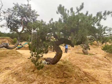 秋季如何培育出高大茁壯的造型油松?