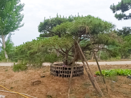 造型黑松树苗管理