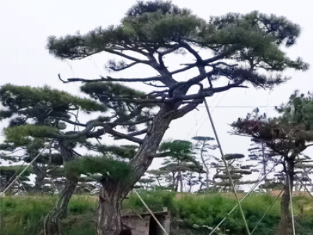 造型油松的松梢螟虫害防治