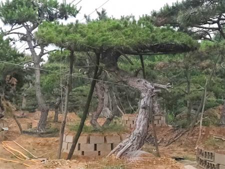 泰山景觀松 萊蕪造型松