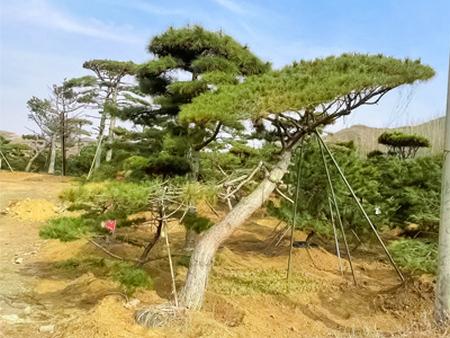 景觀松批發 造型油松基地