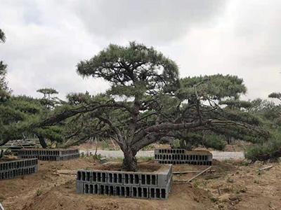 造型松基地 泰山景觀松