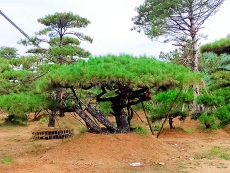 萊蕪造型松基地