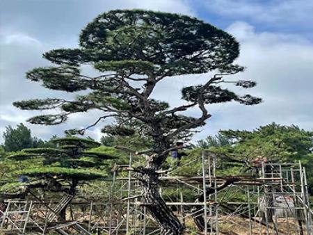 造型油松的假植的具體方法是什么?