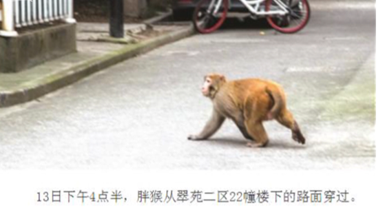 猴子遭麻醉枪射中拔下针管就跑.jpg