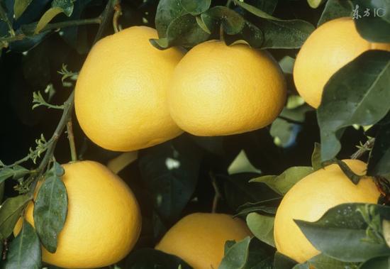 柚子居然有这么多不为人知的功效