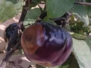 茄子3.png