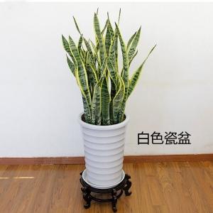中型绿化植物