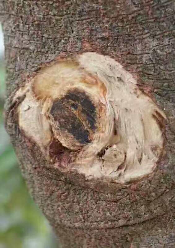 五年以上的树结的香|奇楠沉香-茂名电白区春龙奇楠沉香种植专业合作社