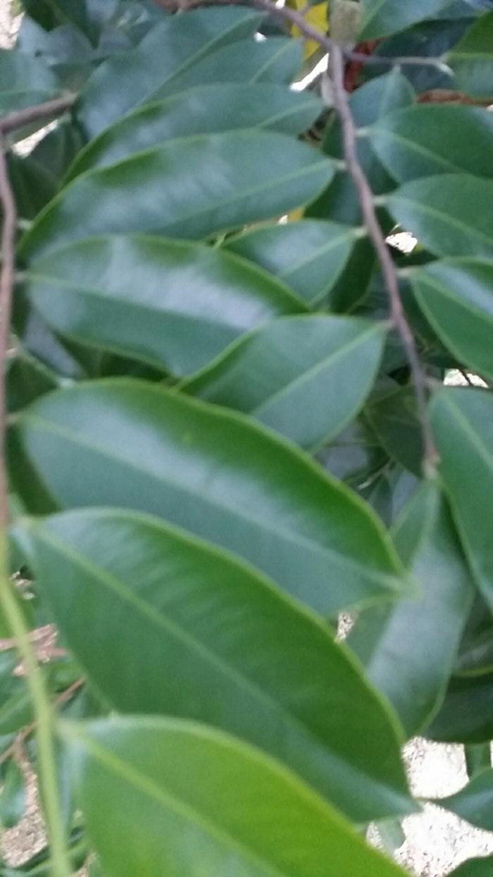 奇楠沉香树|奇楠沉香-茂名电白区春龙奇楠沉香种植专业合作社