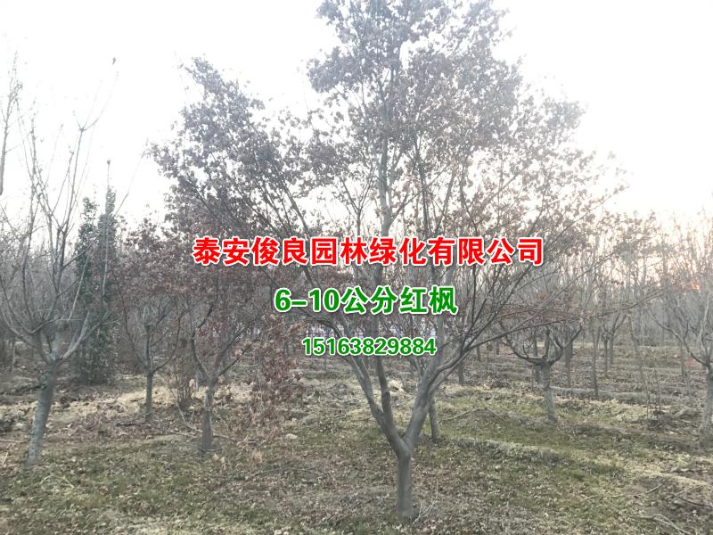 6-10公分红枫xiu.jpg