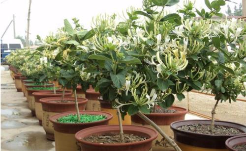 金银花盆栽的一些养护技巧!