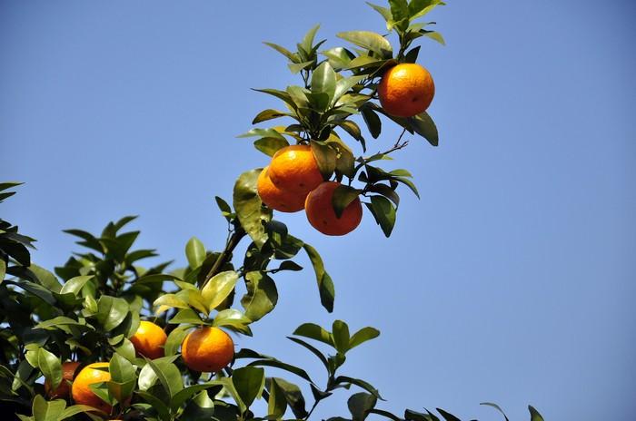 砂糖橘7.jpg