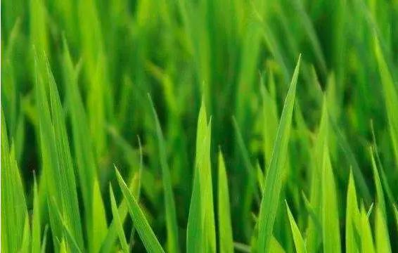 小麦3.png