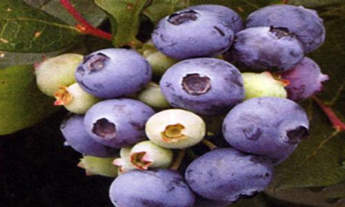 蓝莓苗木批发价