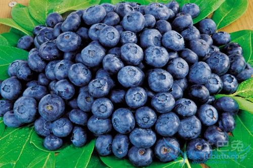 蓝莓种苗价格