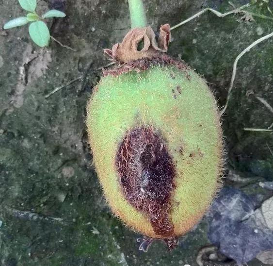 猕猴桃8.png