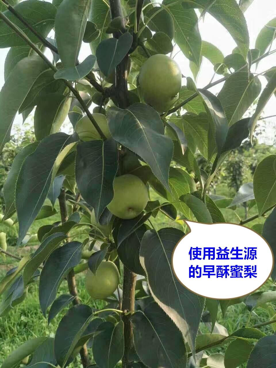 梨树9.jpg