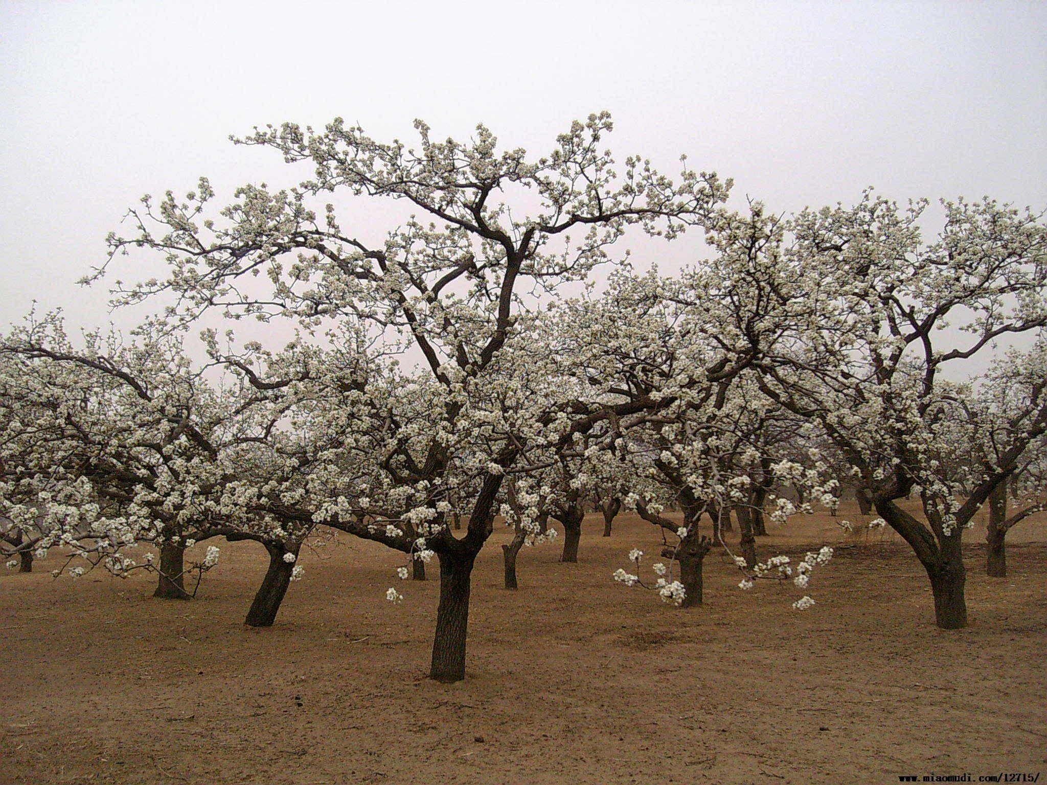 梨树1.jpg
