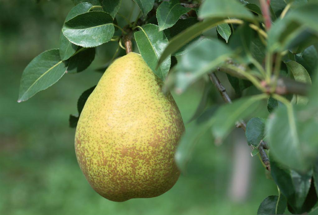 梨树4.jpg