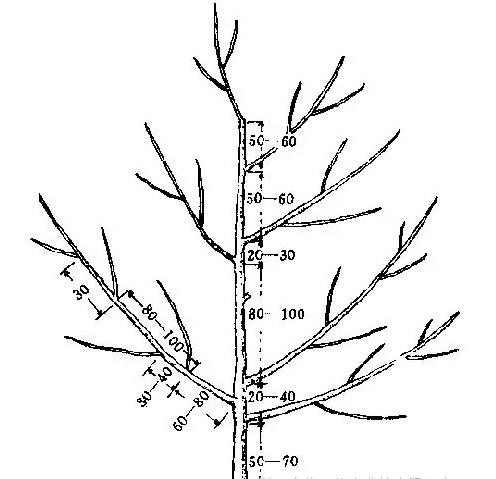 梨树5.png