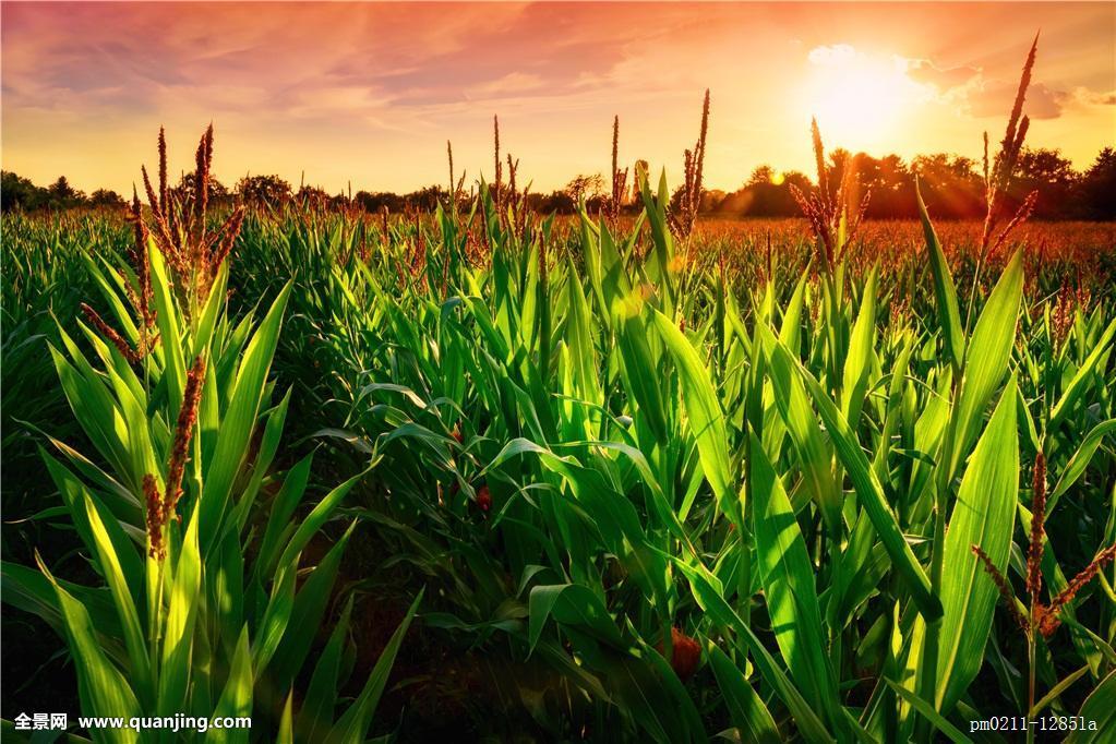 玉米简笔画 风景