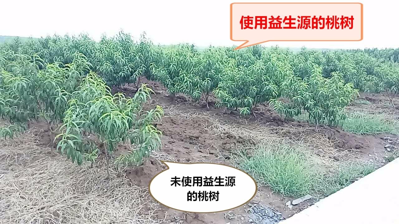 桃树1修改.jpg