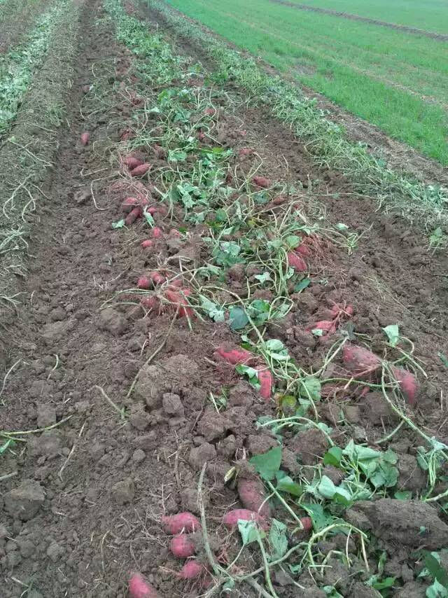 红薯1.jpg