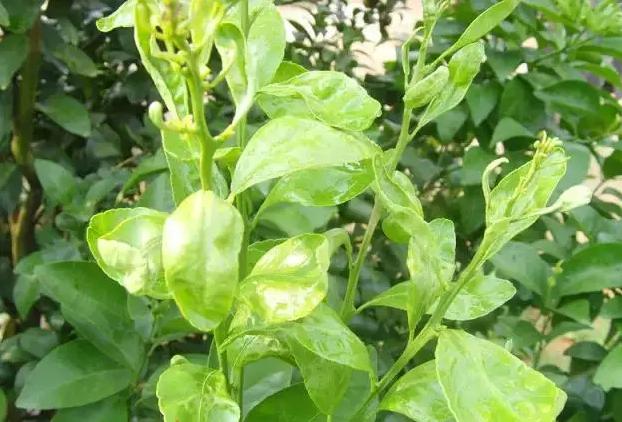 柑橘9.png