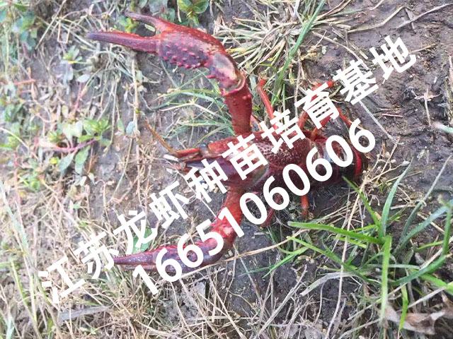 龙虾种苗基地1.jpg
