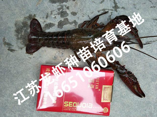 龙虾种苗基地2.jpg