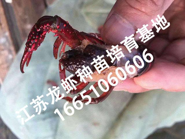 龙虾种苗基地5.jpg