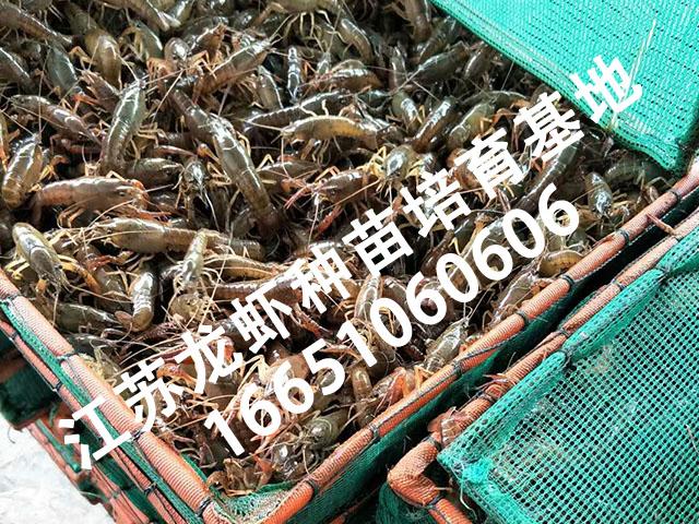 江苏龙虾幼苗批发